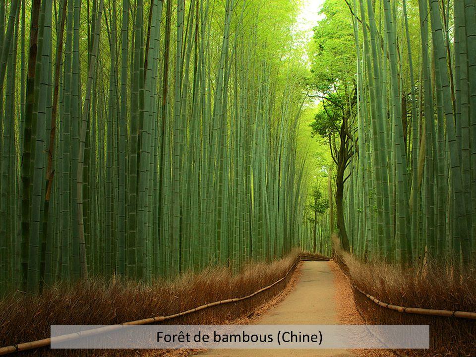 Forêt de bambous (Chine)