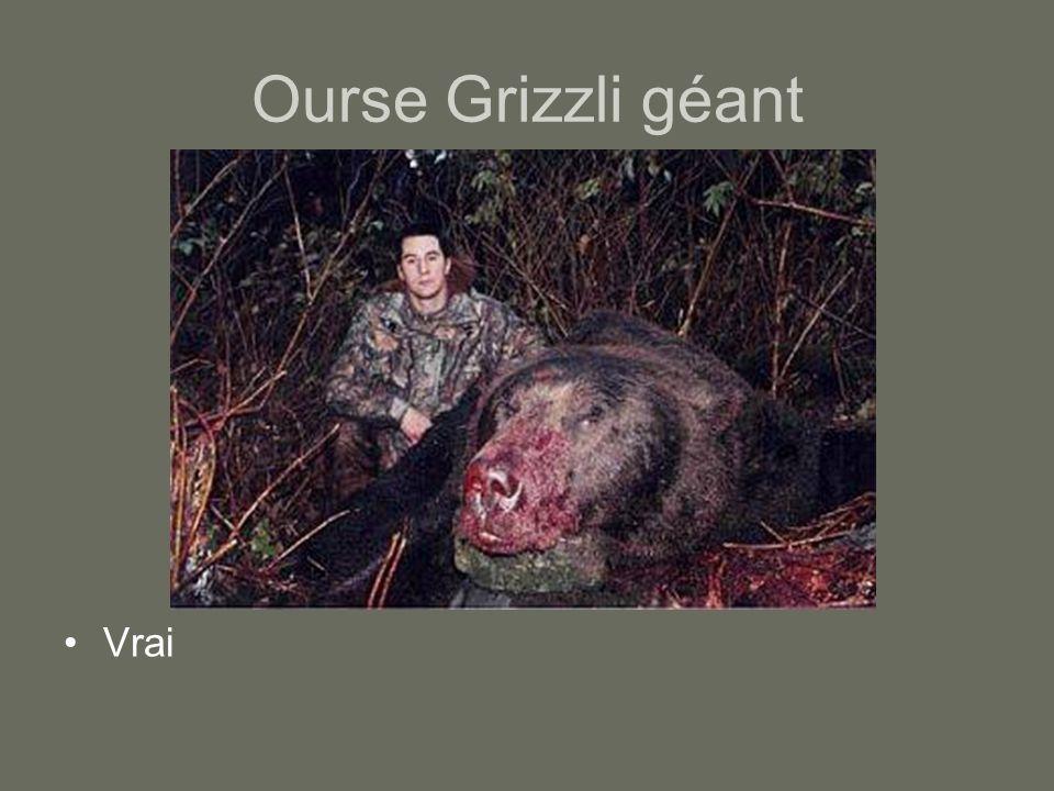 Ourse Grizzli géant Vrai