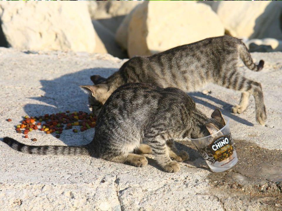 Le chat est une curiosité parmi les félins. Il possède des caractéristiques qui le différencient nettement des autres chats sauvages. Images du Net –