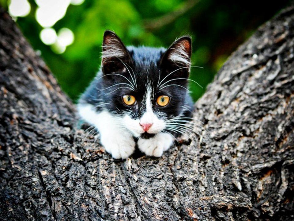 Les chats ont diverses vocalisations dont les ronronnements, les miaulements, ou les grognements, bien quils communiquent principalement par des posit