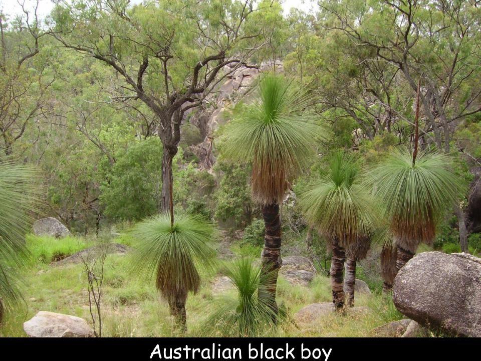 Arbre-et-fleur, Australie