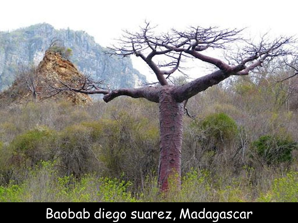 Baobab chacal, Mali
