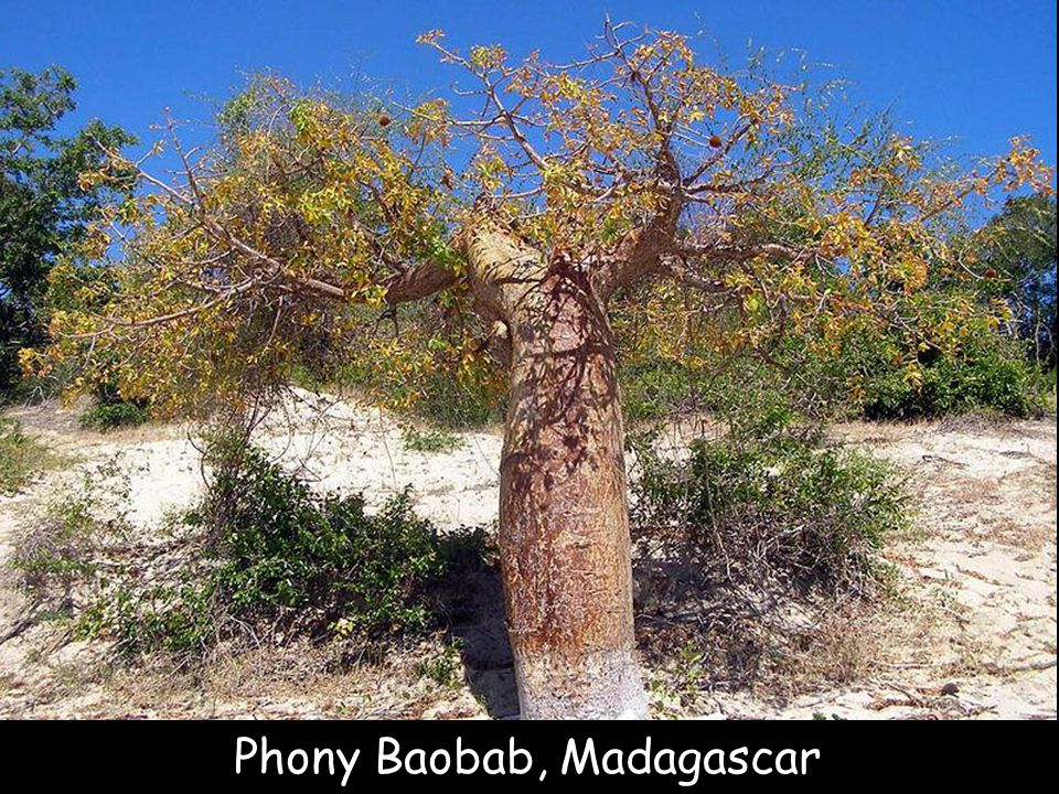 Baobab diego suarez, Madagascar