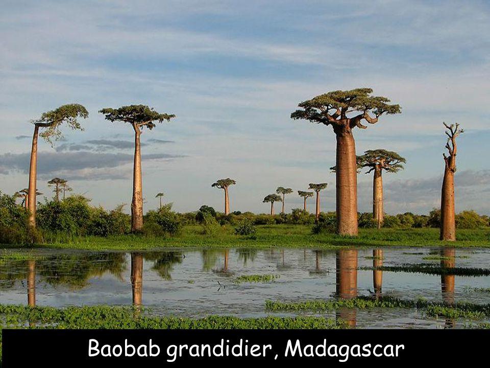 Phony Baobab, Madagascar