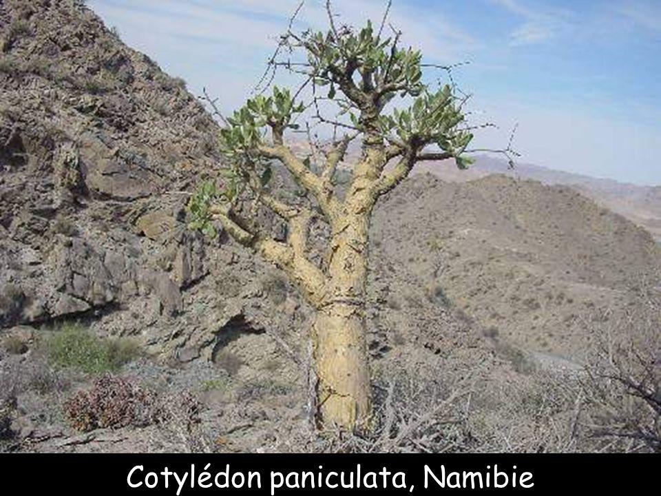 Botterboom, Afrique