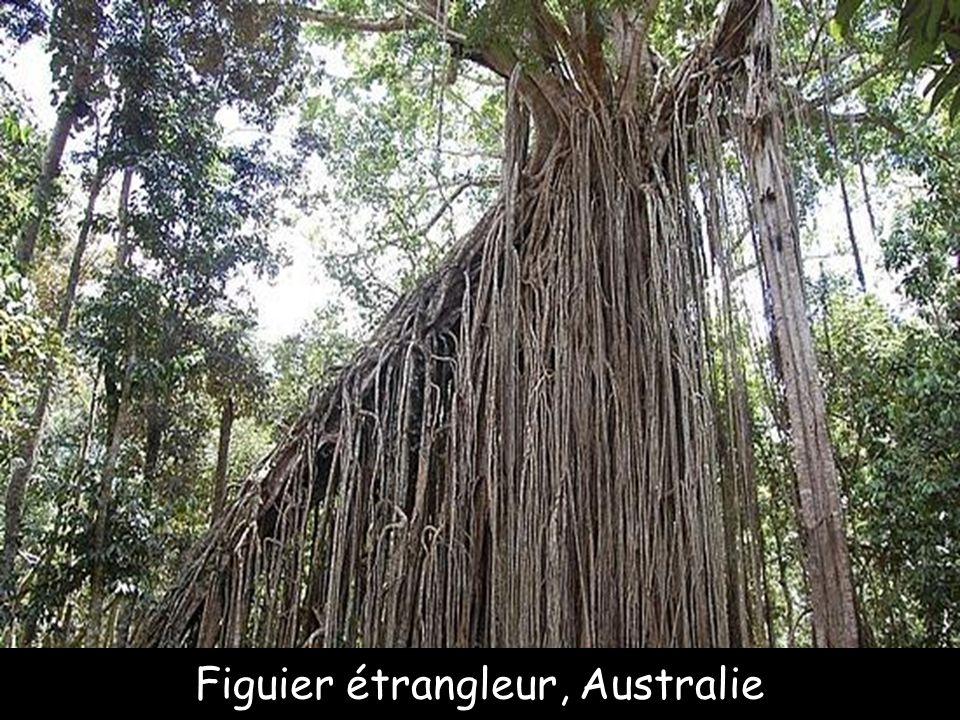 Eucalyptus arc en ciel, Philippines