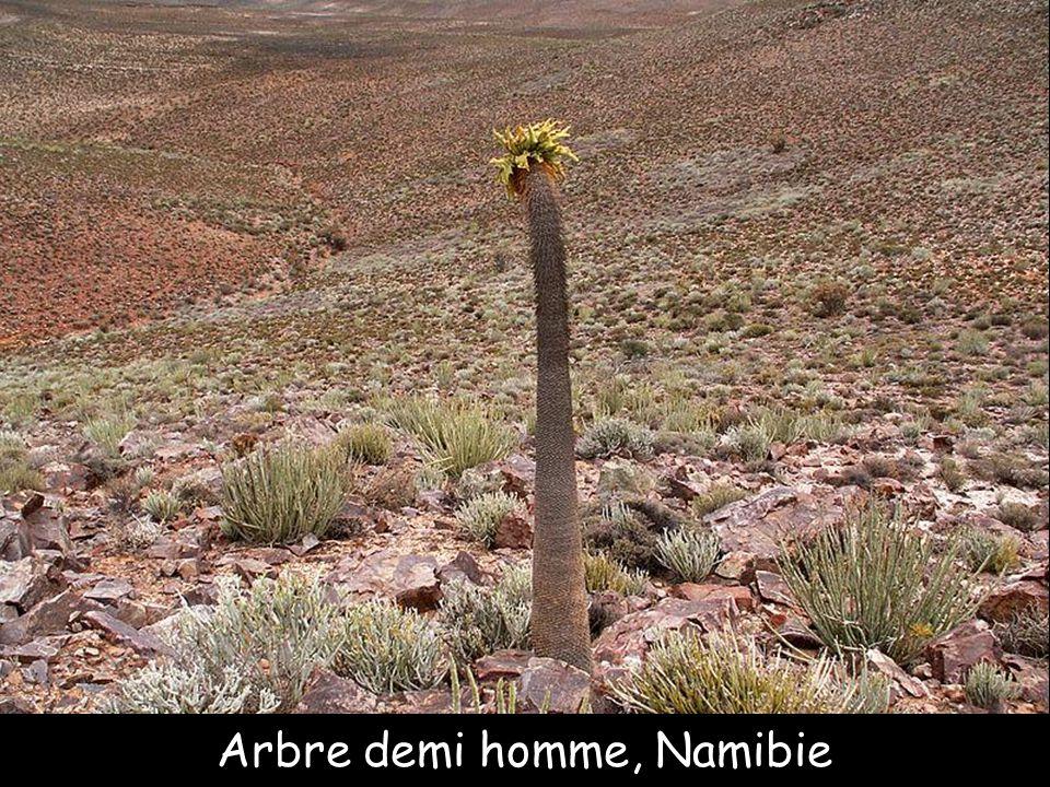 Nubian dragon tree