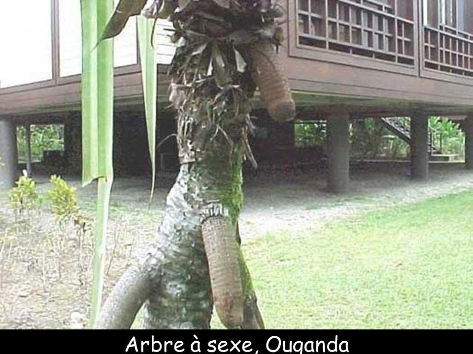 Arbre à sexe, Ouganda