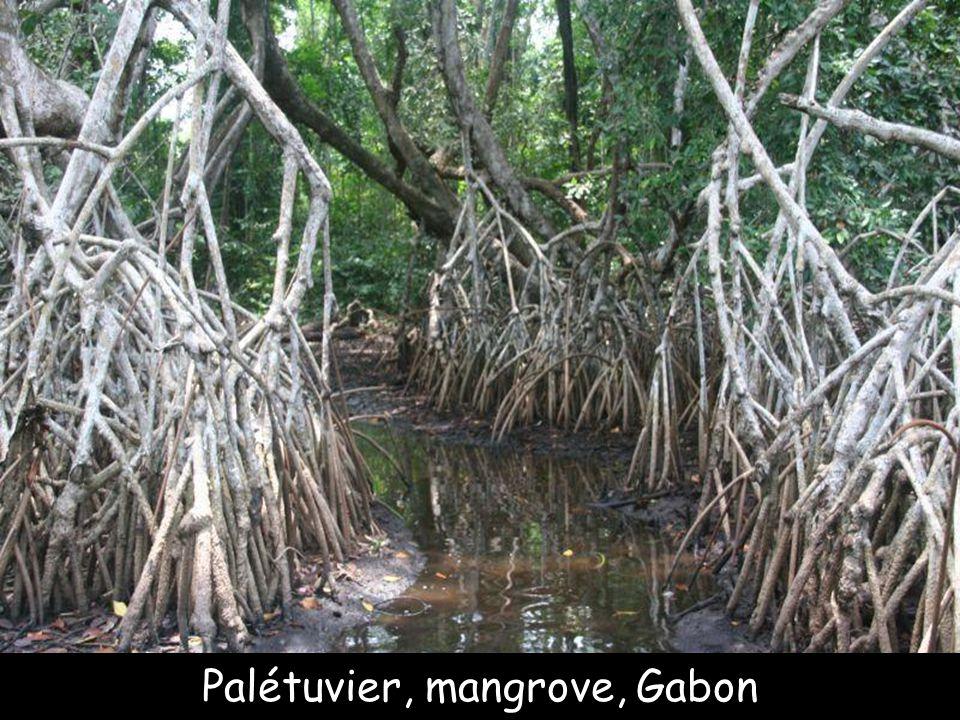 Palétuvier, Martinique