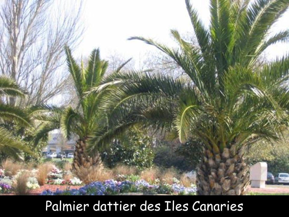 Palmier bouteille, Martinique