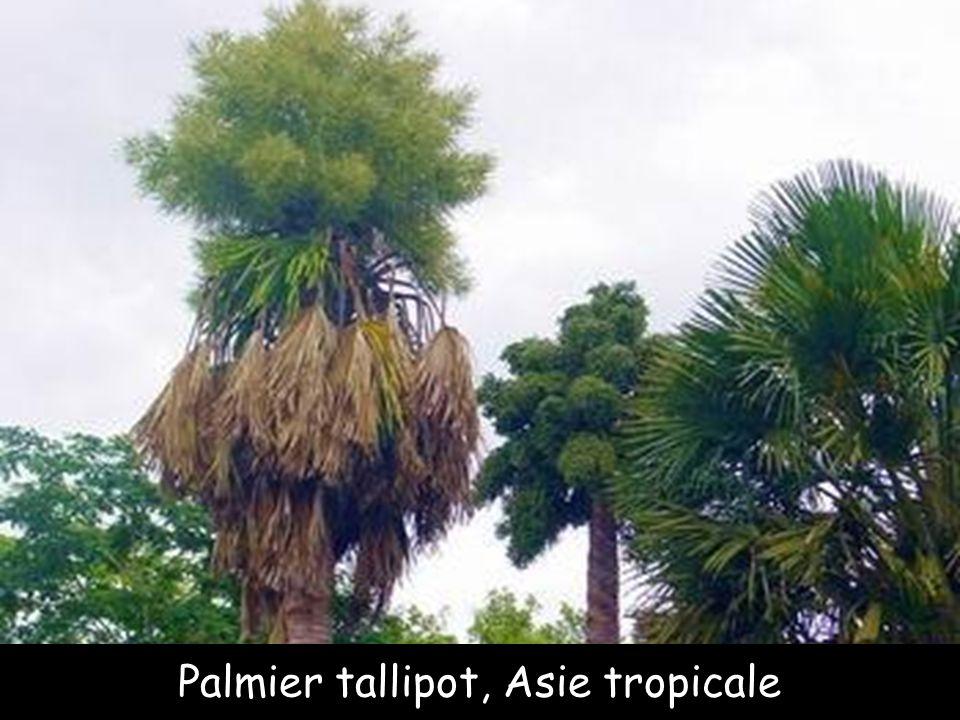 Palmier dattier des Iles Canaries