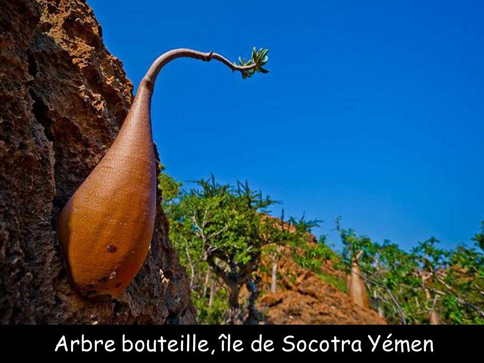 Baobab australien