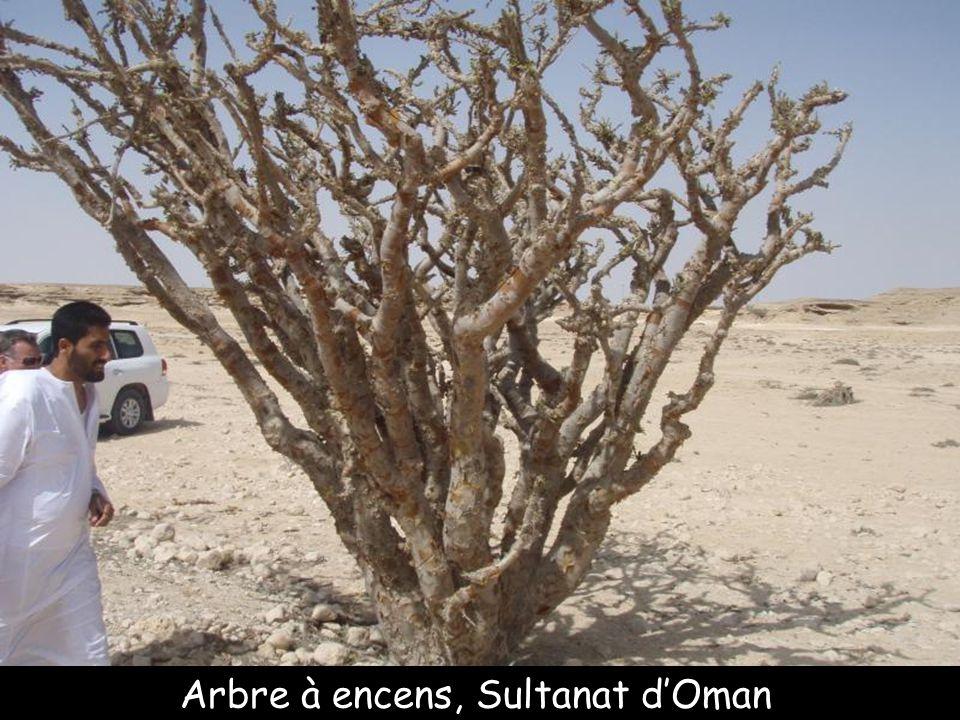 Arbre bouteille, île de Socotra Yémen