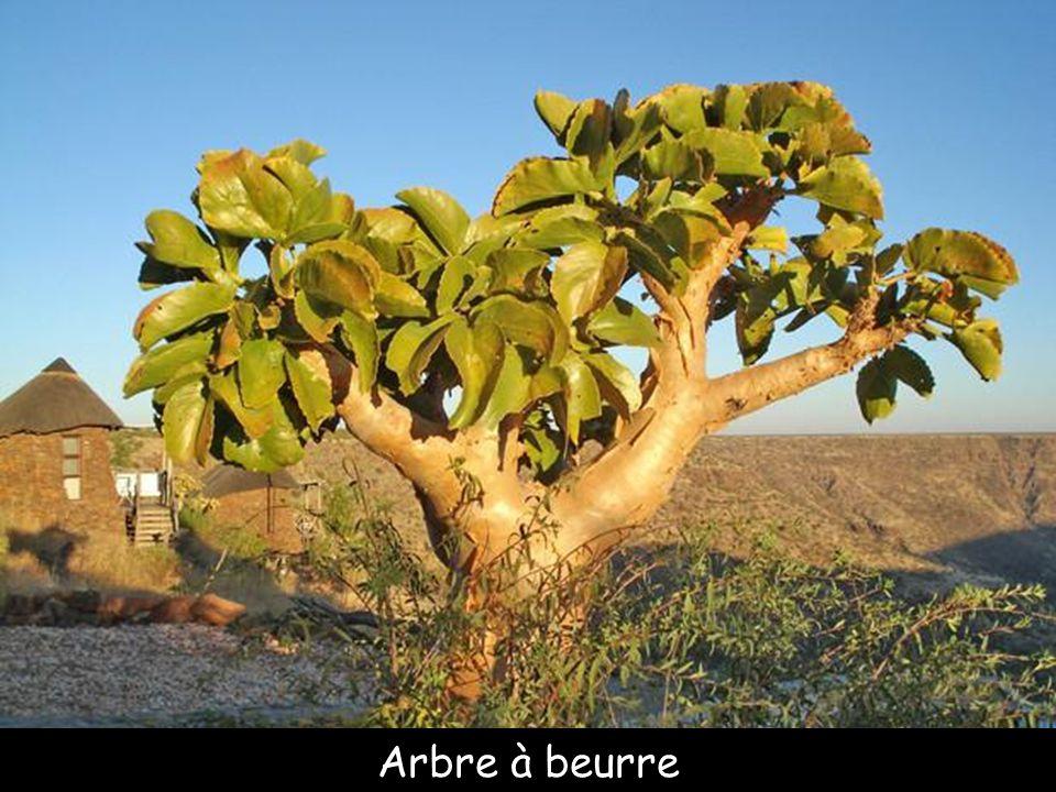 Pears cactus, îles Galápagos