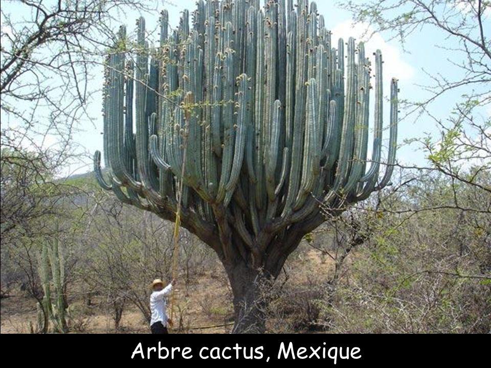 Arbre cactus, Mexique