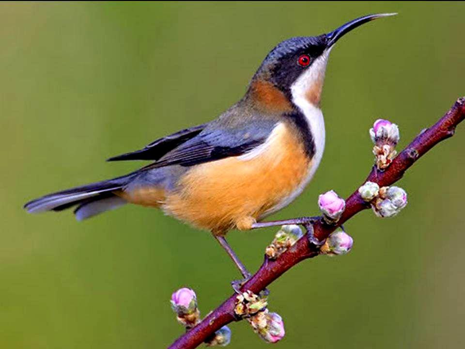 Le colibri des matins clairs Il fuse au matin clair dans un jet de soleil, Imprégné de rosée et de parfum créole, Minuscule saphir aux ailes de vermei