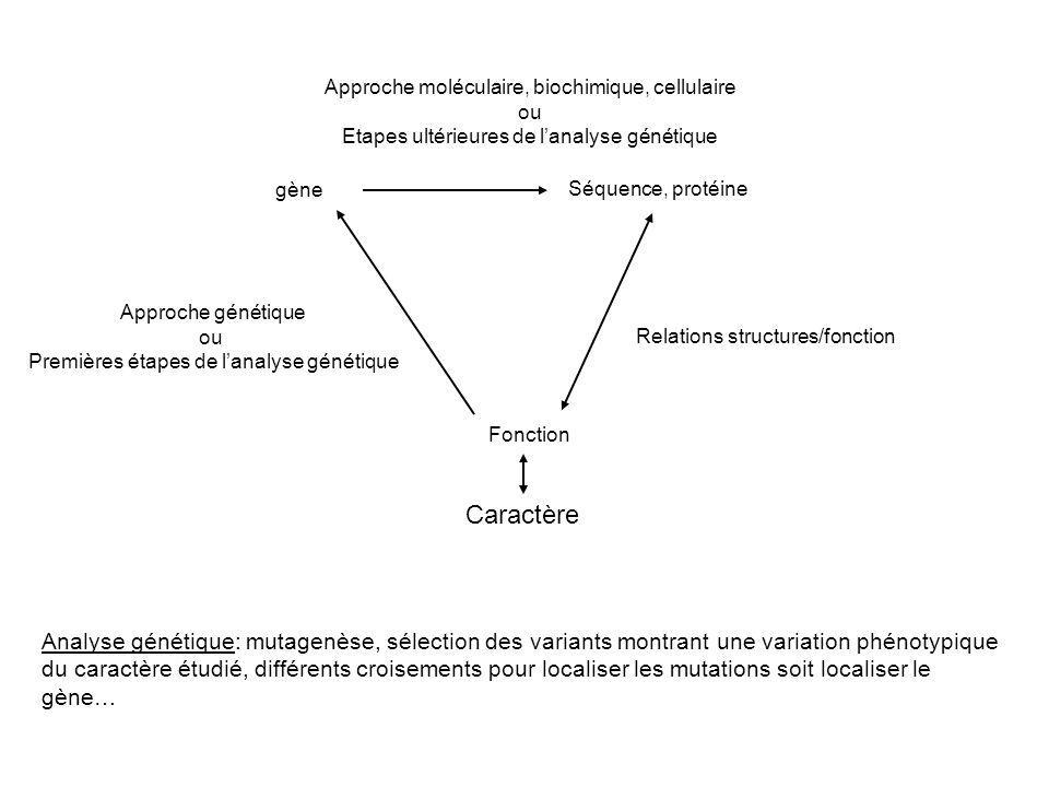 gène Séquence, protéine Fonction Approche génétique ou Premières étapes de lanalyse génétique Approche moléculaire, biochimique, cellulaire ou Etapes