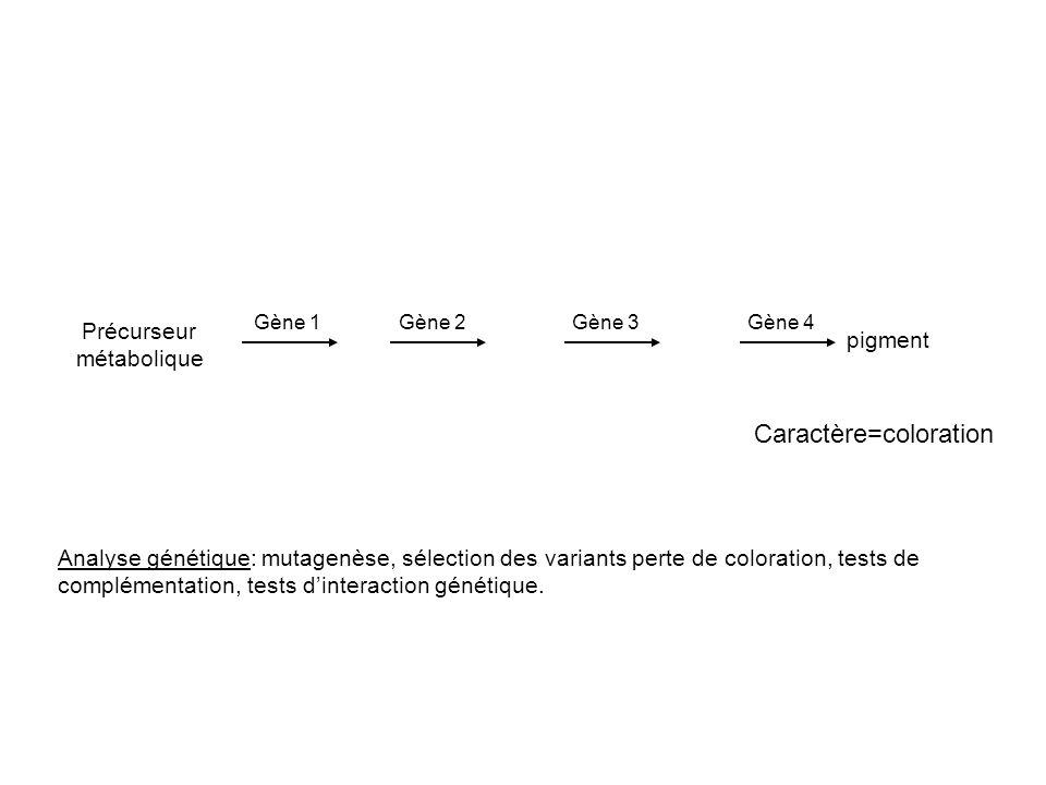 Précurseur métabolique pigment Caractère=coloration Analyse génétique: mutagenèse, sélection des variants perte de coloration, tests de complémentatio