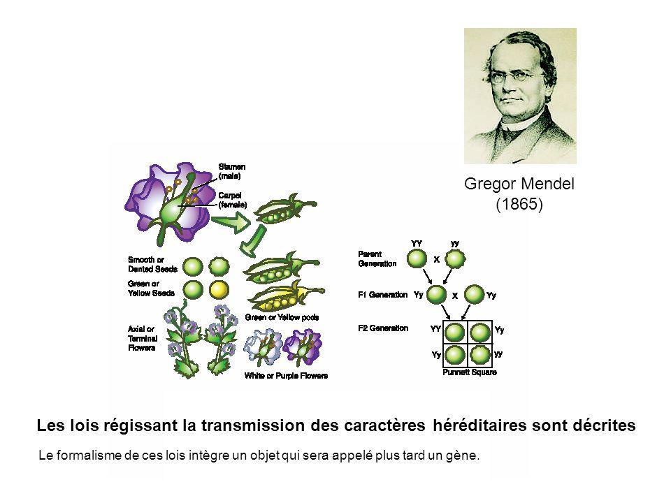 Gregor Mendel (1865) Le formalisme de ces lois intègre un objet qui sera appelé plus tard un gène. Les lois régissant la transmission des caractères h