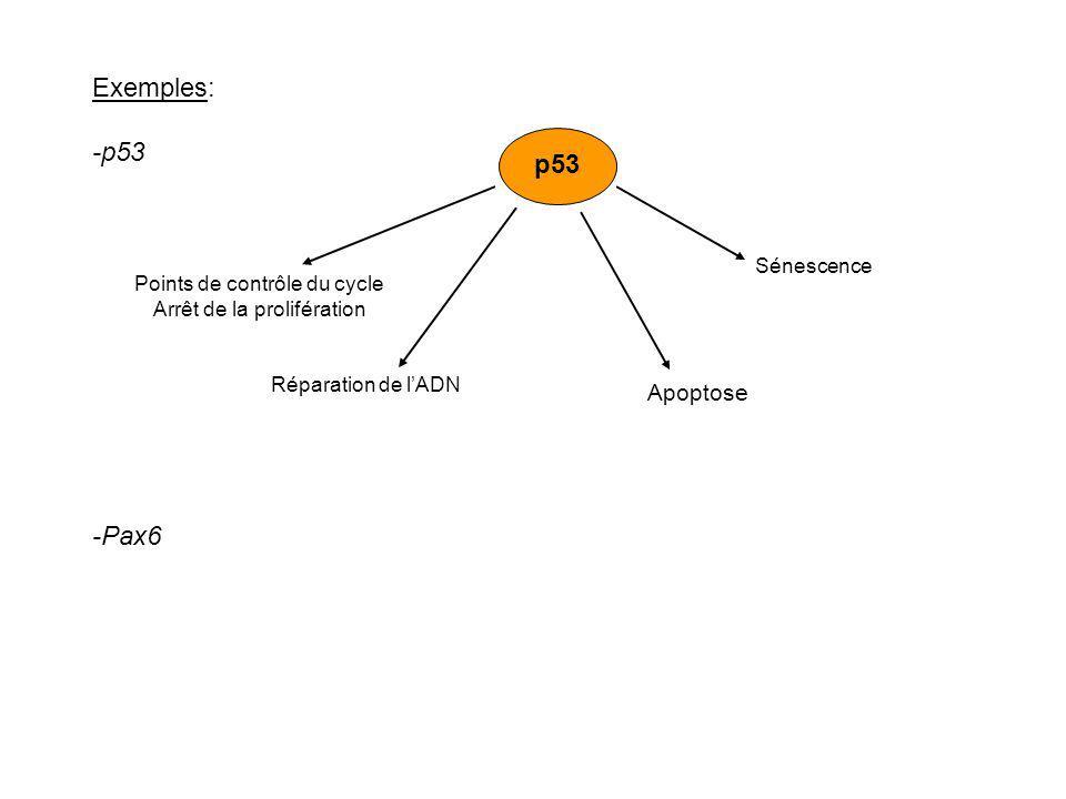 Exemples: -p53 -Pax6 p53 Apoptose Points de contrôle du cycle Arrêt de la prolifération Réparation de lADN Sénescence