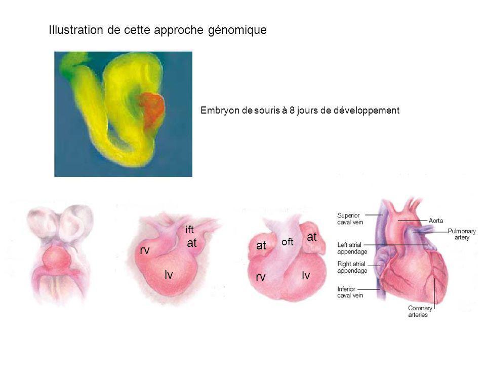 Illustration de cette approche génomique rv lv at oft rv lv at ift Embryon de souris à 8 jours de développement