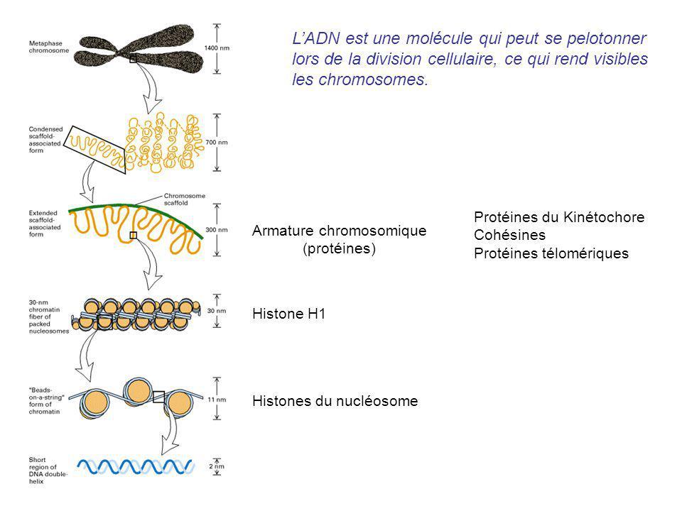 Histones du nucléosome Histone H1 Armature chromosomique (protéines) Protéines du Kinétochore Cohésines Protéines télomériques LADN est une molécule q