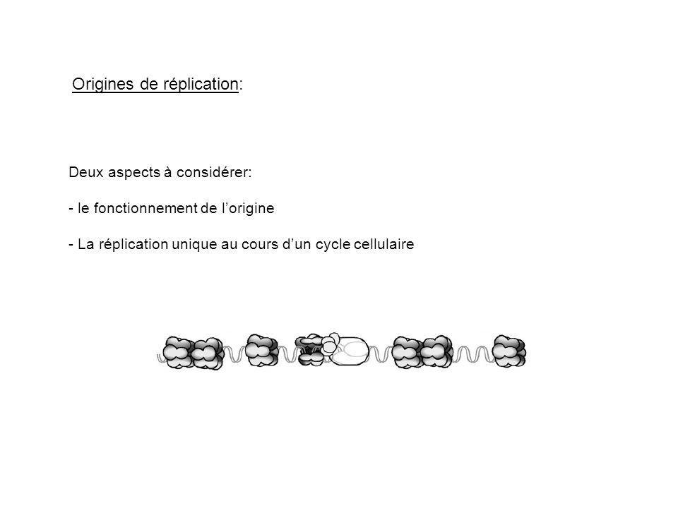 Origines de réplication: Deux aspects à considérer: - le fonctionnement de lorigine - La réplication unique au cours dun cycle cellulaire
