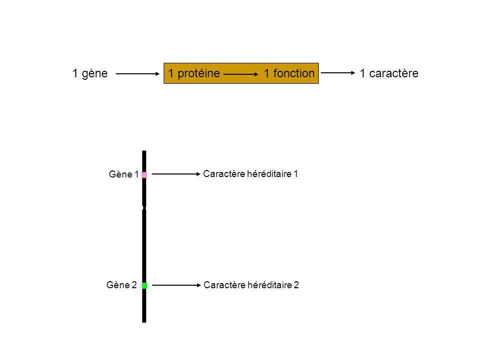 1 gène1 protéine1 fonction1 caractère Gène 1 Gène 2 Caractère héréditaire 1 Caractère héréditaire 2