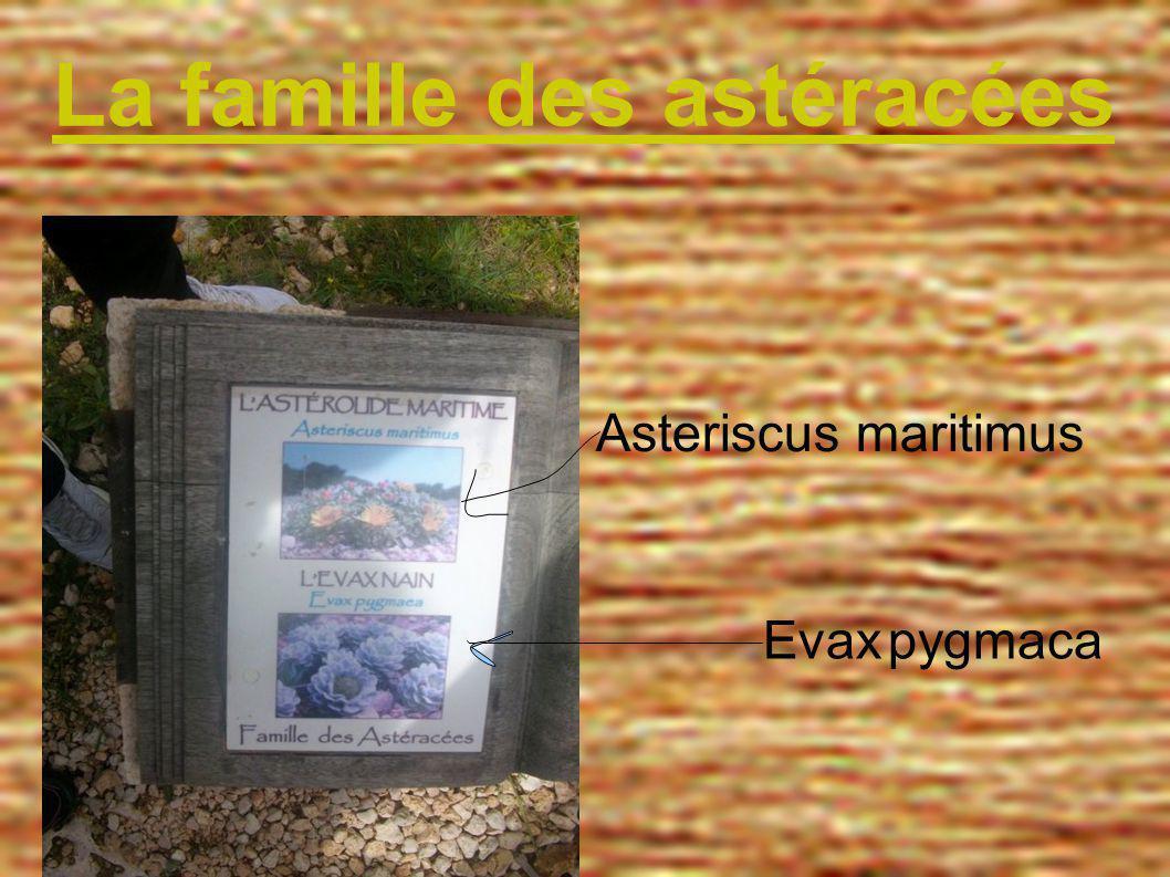 La famille des astéracées Asteriscus maritimus Evax pygmaca