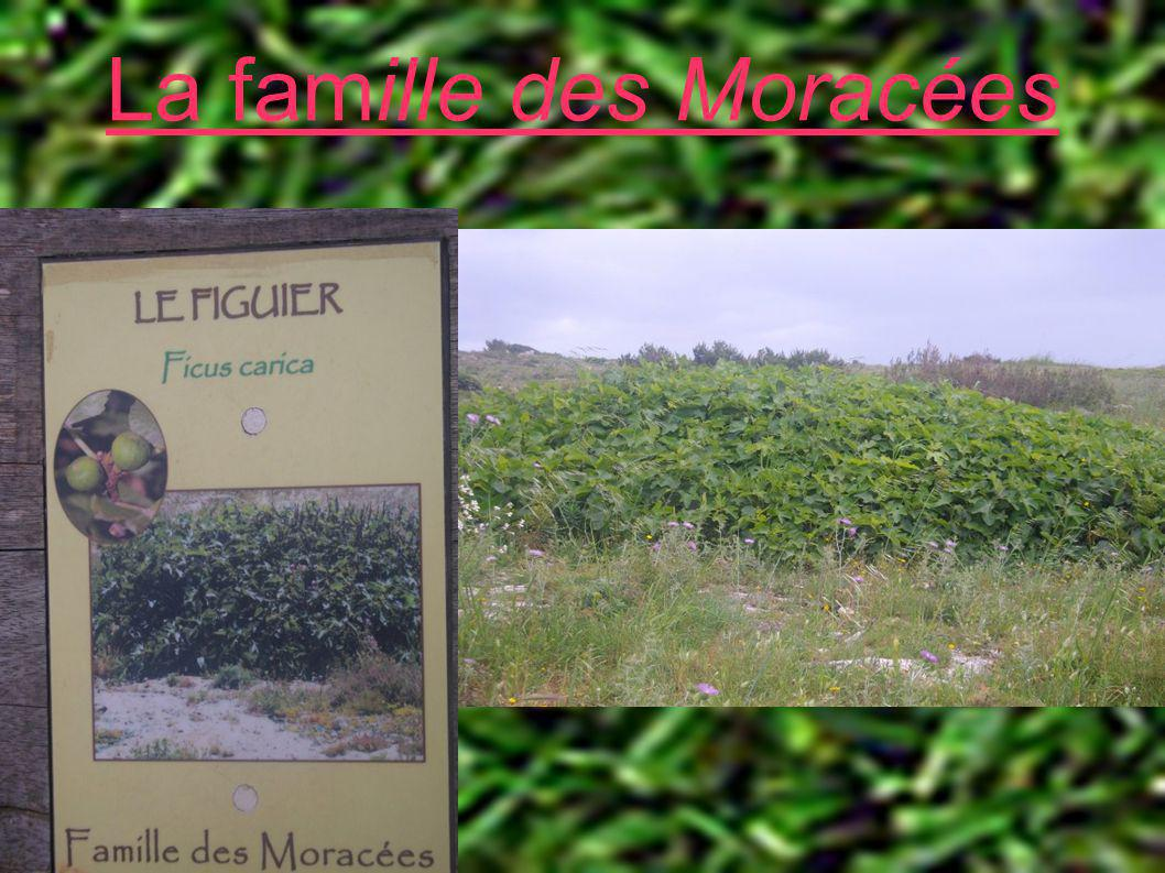 La famille des Moracées