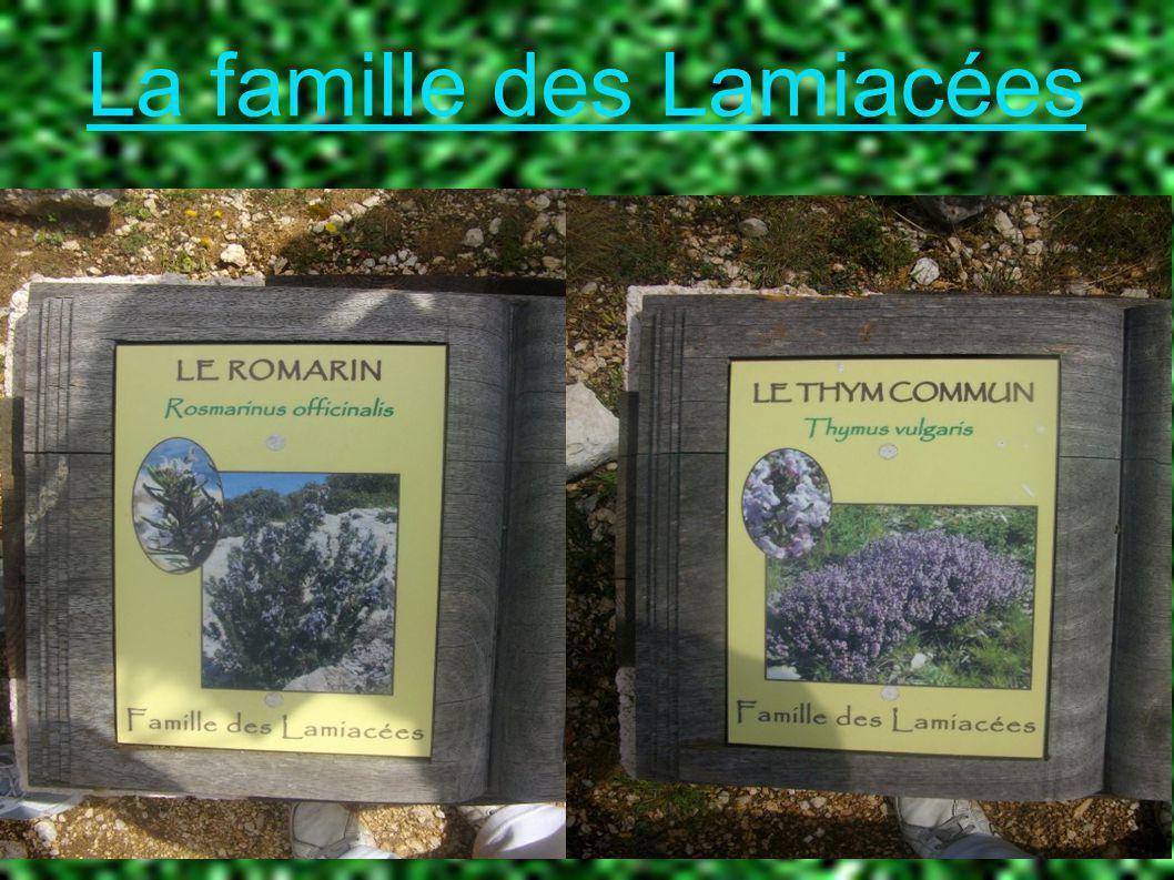 La famille des Lamiacées