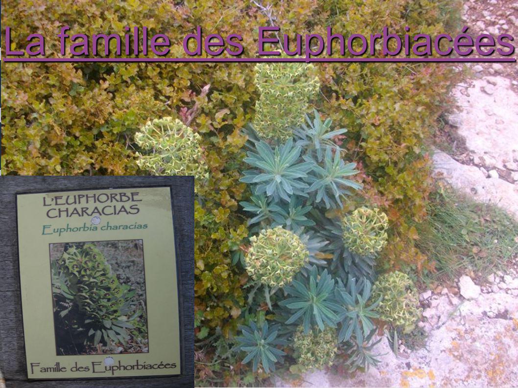 La famille des Euphorbiacées