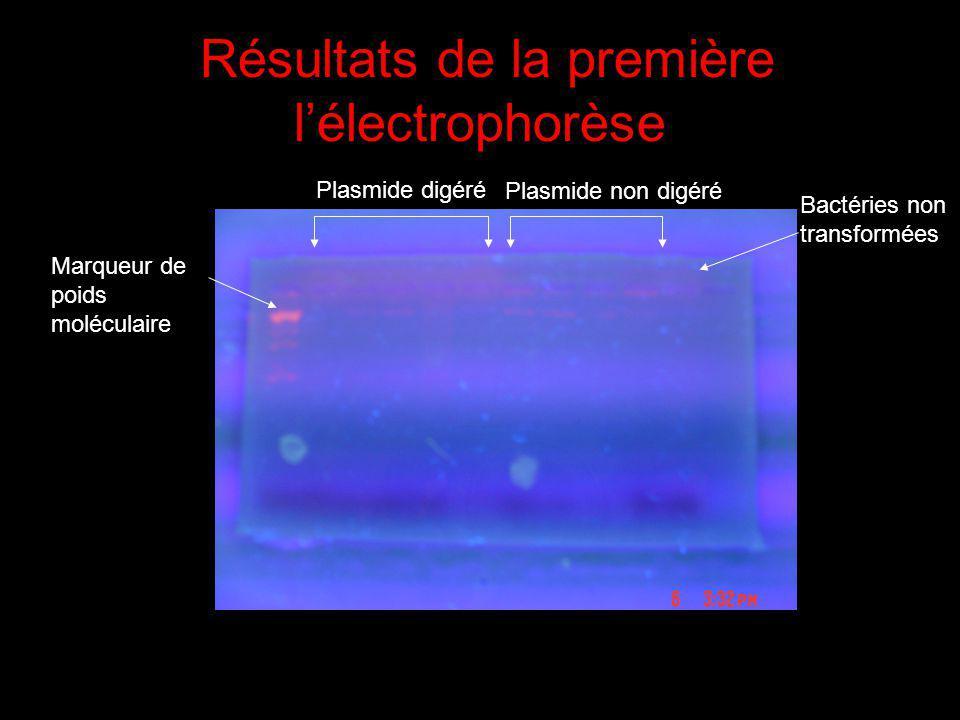 Résultats de la première lélectrophorèse Marqueur de poids moléculaire Plasmide digéré Plasmide non digéré Bactéries non transformées