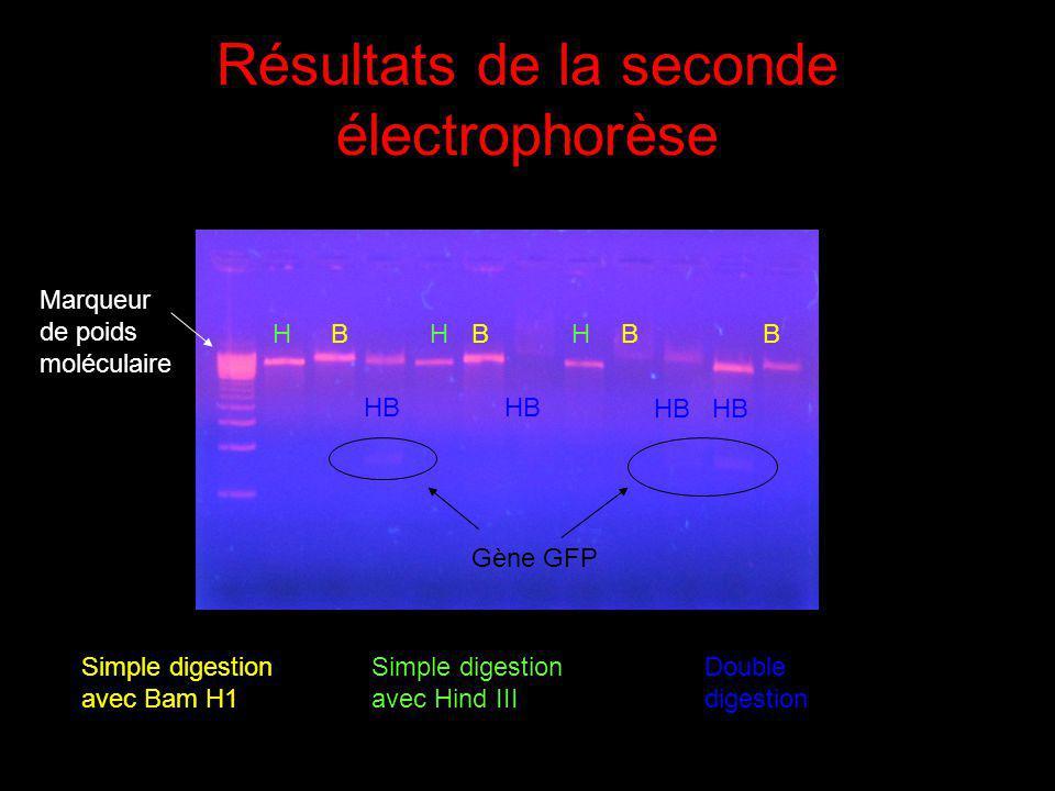 Résultats de la seconde électrophorèse Marqueur de poids moléculaire Simple digestion avec Hind III Simple digestion avec Bam H1 Double digestion HHHB