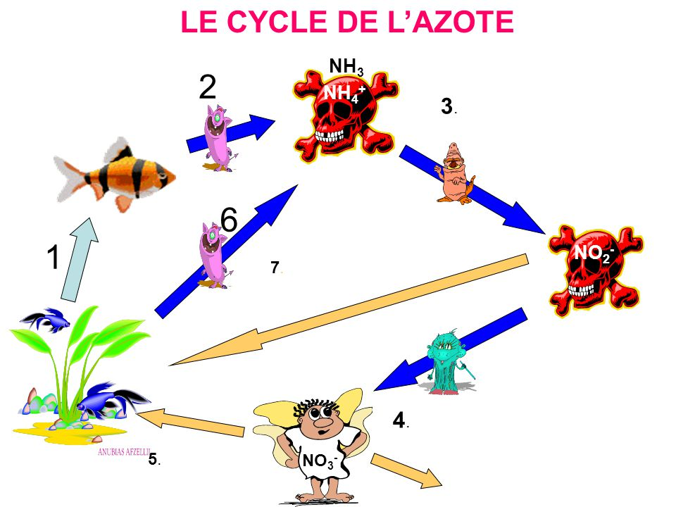 LE CYCLE DE LAZOTE NH 3 NH 4 + NO 2 - 1 2 6 NO 3 - 3.3. 7.7. 4.4. 5.5.