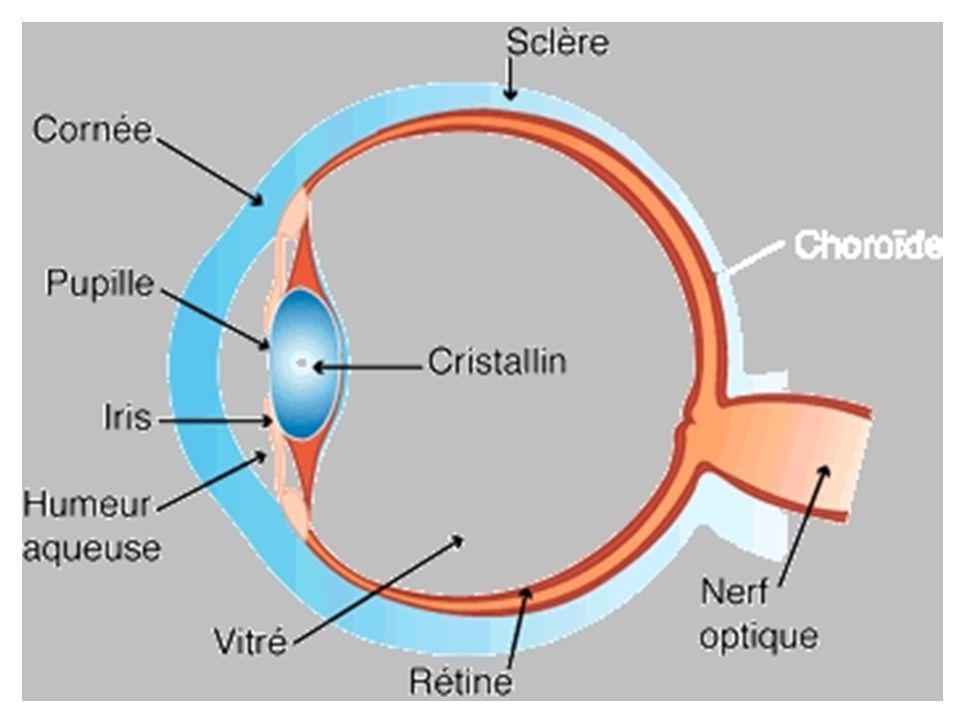 Si lobjet est loin (10 fois la taille de la pupille : environ 10 cm), limage est très petite.