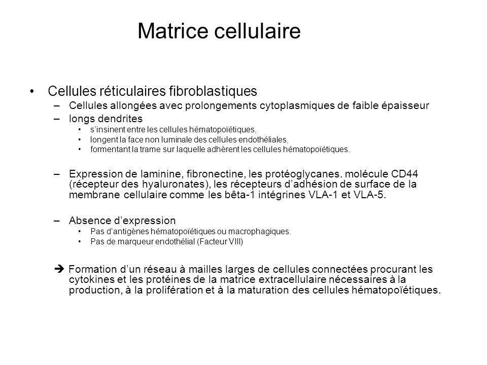 Matrice cellulaire Cellules réticulaires fibroblastiques –Cellules allongées avec prolongements cytoplasmiques de faible épaisseur –longs dendrites sinsinent entre les cellules hématopoïétiques, longent la face non luminale des cellules endothéliales, formentant la trame sur laquelle adhèrent les cellules hématopoïétiques.