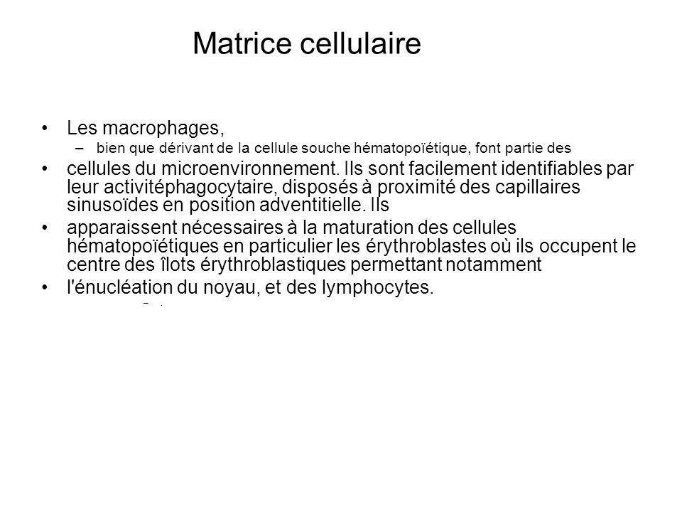Matrice cellulaire Les macrophages, –bien que dérivant de la cellule souche hématopoïétique, font partie des cellules du microenvironnement. Ils sont