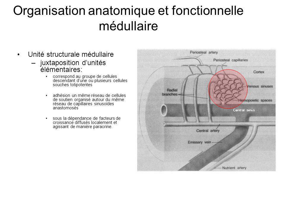 Organisation anatomique et fonctionnelle médullaire Unité structurale médullaire –juxtaposition dunités élémentaires: correspond au groupe de cellules