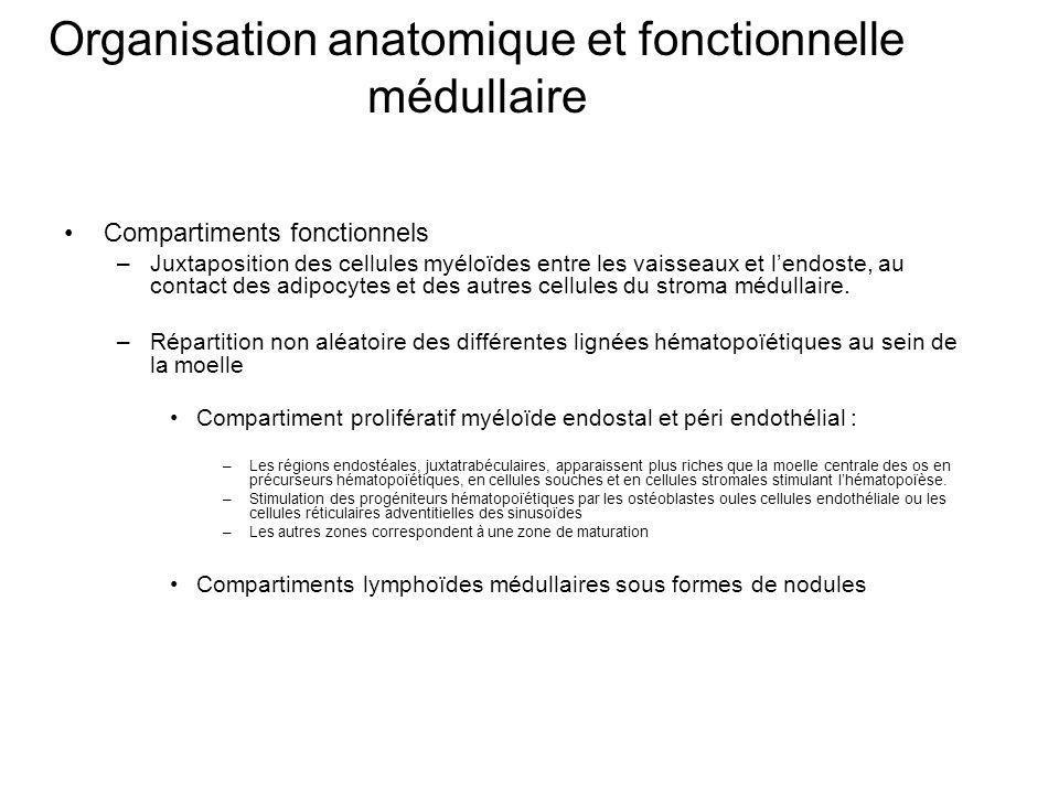 Organisation anatomique et fonctionnelle médullaire Compartiments fonctionnels –Juxtaposition des cellules myéloïdes entre les vaisseaux et lendoste, au contact des adipocytes et des autres cellules du stroma médullaire.