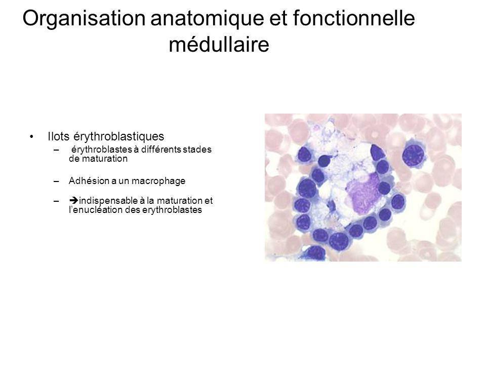 Organisation anatomique et fonctionnelle médullaire Ilots érythroblastiques – érythroblastes à différents stades de maturation –Adhésion a un macrophage – indispensable à la maturation et lenucléation des erythroblastes