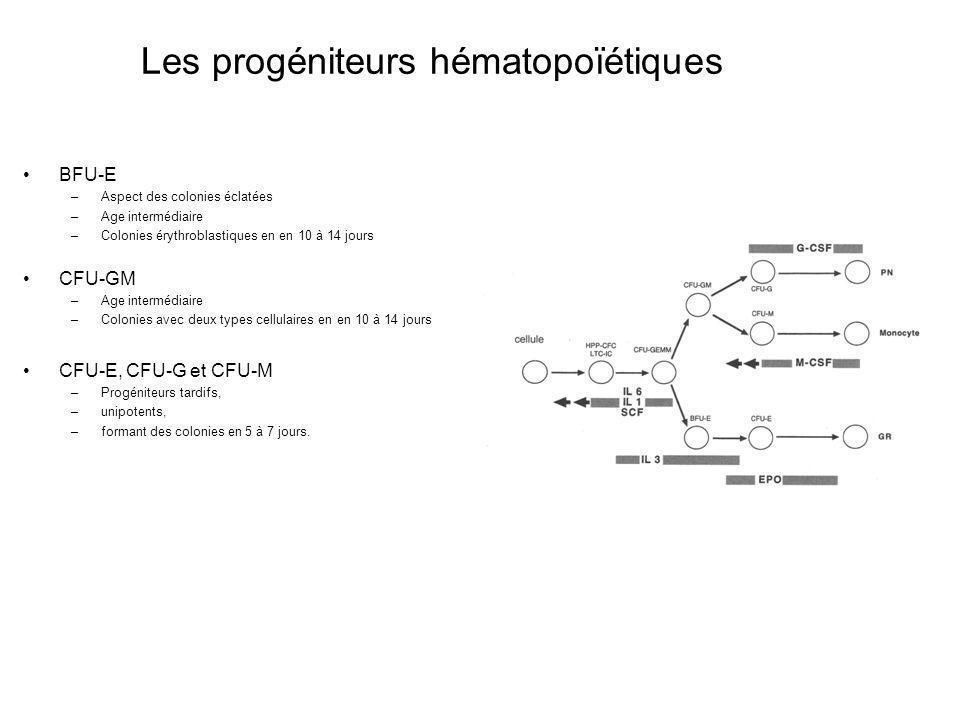 BFU-E –Aspect des colonies éclatées –Age intermédiaire –Colonies érythroblastiques en en 10 à 14 jours CFU-GM –Age intermédiaire –Colonies avec deux types cellulaires en en 10 à 14 jours CFU-E, CFU-G et CFU-M –Progéniteurs tardifs, –unipotents, –formant des colonies en 5 à 7 jours.
