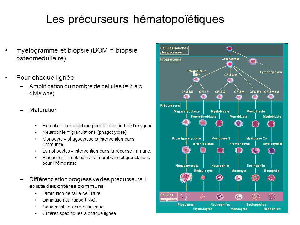 myélogramme et biopsie (BOM = biopsie ostéomédullaire). Pour chaque lignée –Amplification du nombre de cellules (= 3 à 5 divisions) –Maturation Hémati