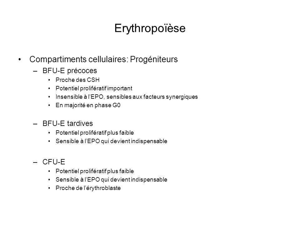 Erythropoïèse Compartiments cellulaires: Progéniteurs –BFU-E précoces Proche des CSH Potentiel prolifératif important Insensible à lEPO, sensibles aux