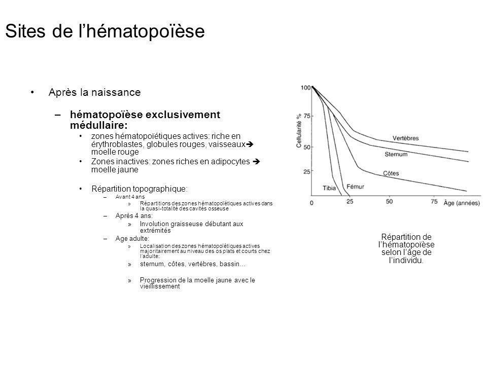 Sites de lhématopoïèse Après la naissance –hématopoïèse exclusivement médullaire: zones hématopoïétiques actives: riche en érythroblastes, globules ro