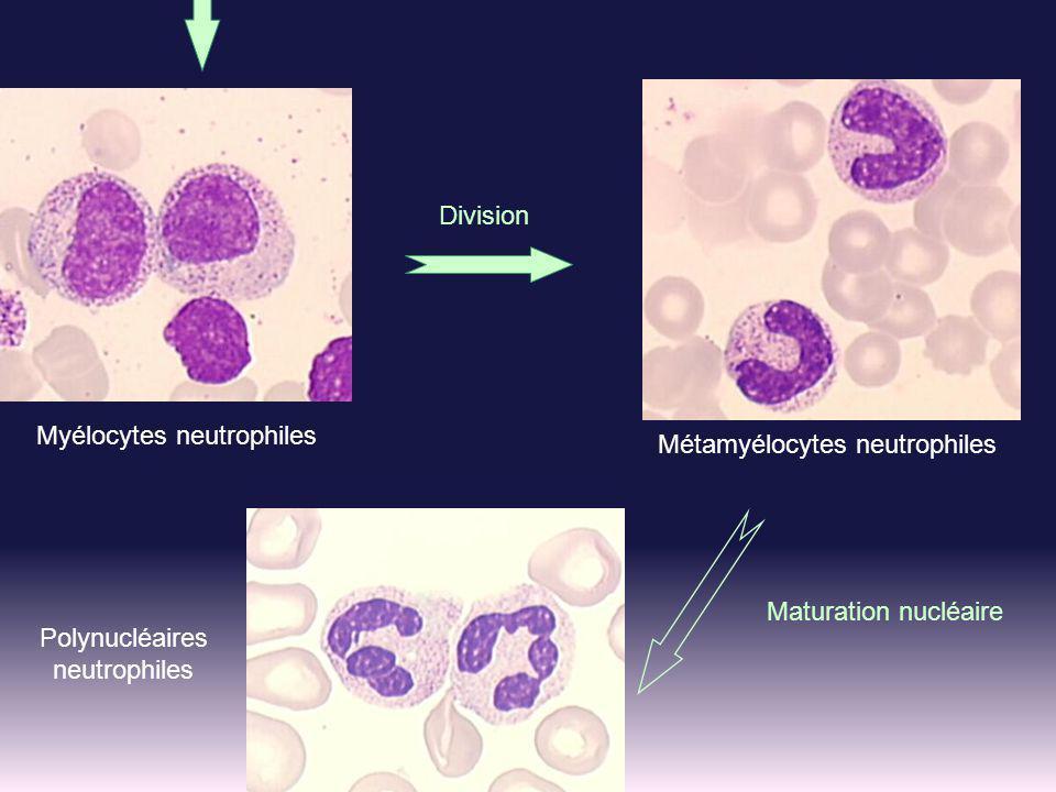 Maturation nucléaire Métamyélocytes neutrophiles Polynucléaires neutrophiles Division Myélocytes neutrophiles
