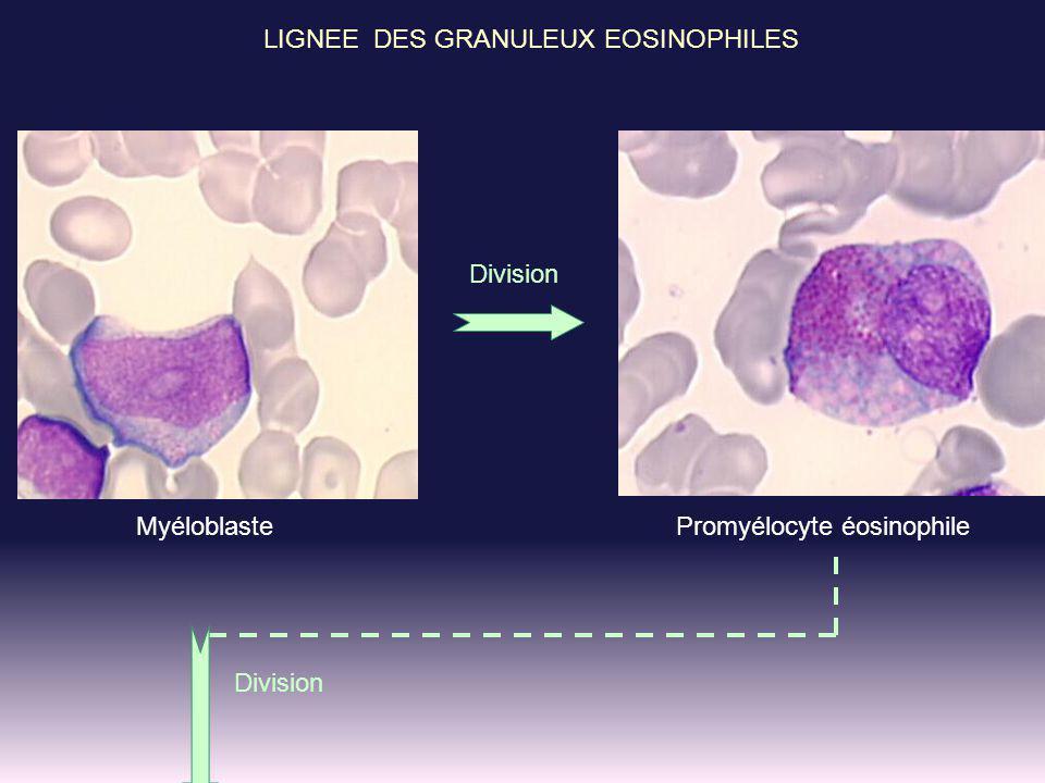 LIGNEE DES GRANULEUX EOSINOPHILES Division MyéloblastePromyélocyte éosinophile