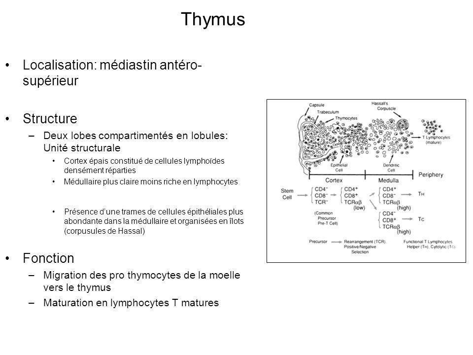 Localisation: médiastin antéro- supérieur Structure –Deux lobes compartimentés en lobules: Unité structurale Cortex épais constitué de cellules lymphoïdes densément réparties Médullaire plus claire moins riche en lymphocytes Présence dune trames de cellules épithéliales plus abondante dans la médullaire et organisées en îlots (corpusules de Hassal) Fonction –Migration des pro thymocytes de la moelle vers le thymus –Maturation en lymphocytes T matures Thymus