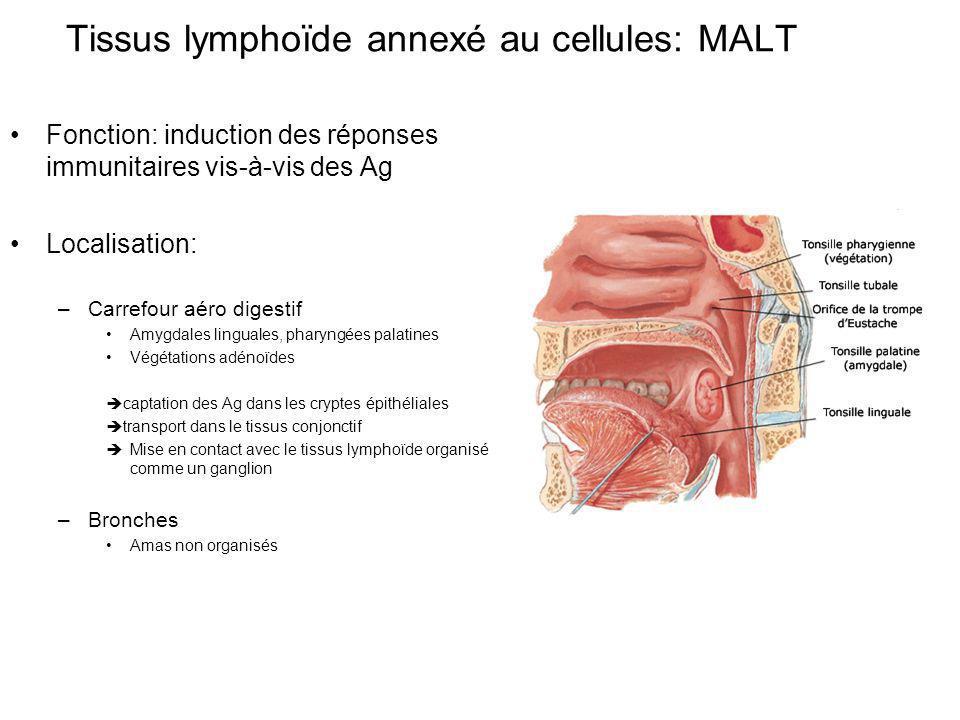 Fonction: induction des réponses immunitaires vis-à-vis des Ag Localisation: –Carrefour aéro digestif Amygdales linguales, pharyngées palatines Végétations adénoïdes captation des Ag dans les cryptes épithéliales transport dans le tissus conjonctif Mise en contact avec le tissus lymphoïde organisé comme un ganglion –Bronches Amas non organisés Tissus lymphoïde annexé au cellules: MALT
