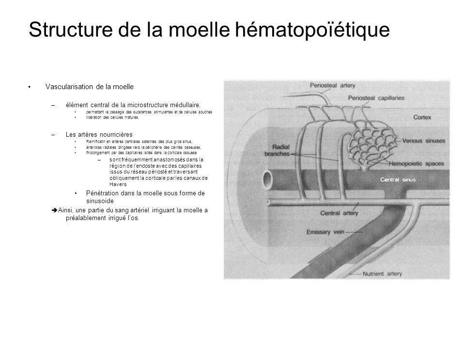 Structure de la moelle hématopoïétique Vascularisation de la moelle –élément central de la microstructure médullaire, permettant le passage des substances stimulantes et de cellules souches libération des cellules matures.